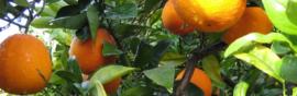 arance-marretta